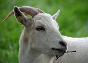 goat-658602_960_720