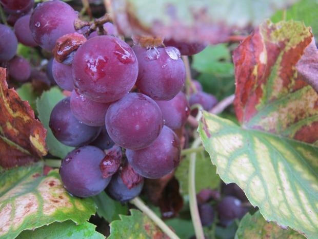 vines-437909_1280